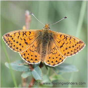 picture_of_Boloria_pales_also_called_Shepherd`s_Fritillary